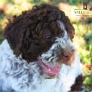 alimentazione cucciolo lagotto romagnolo