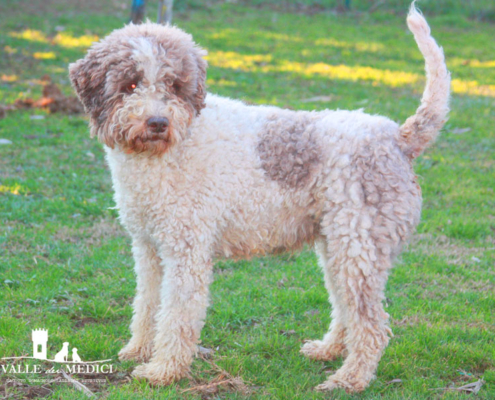 dog lagotto romagnolo