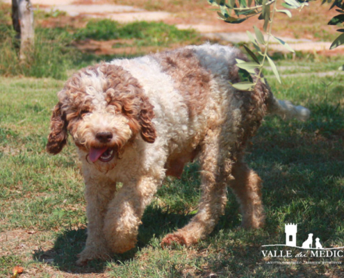 lagotto romagnolo femmina