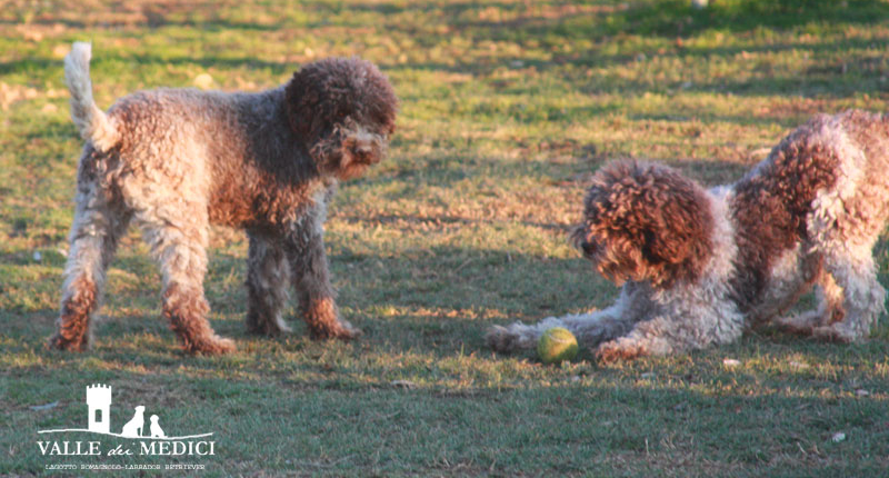 lagotto romagnolo italian kennel