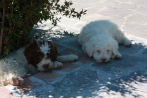 cuccioli Lagotto lombardia