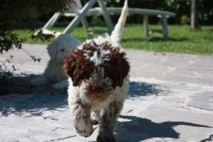 prezzo lagotto romagnolo cucciolo