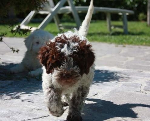 prezzi lagotto romagnolo cucciolo