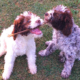 cambio denti cucciolo lagotto romagnolo