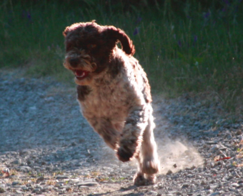 Displasia Lagotto Romagnolo