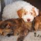 lagotto romagnolo cane gatto amici