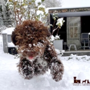 harness lagotto romagnolo