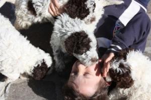 Il Lagotto Romagnolo cane da compagnia educato