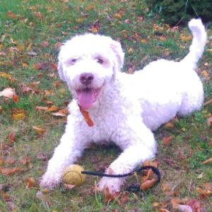 cane lagotto romagnolo bianco giochi divertenti senza tartufo