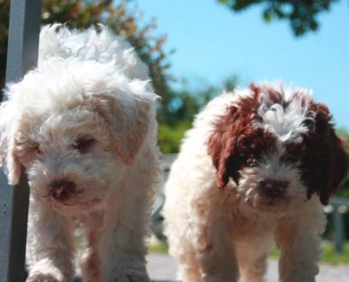 cuccioli lagotto romagnolo allevamento