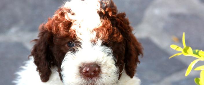 costo cucciolo lagotto