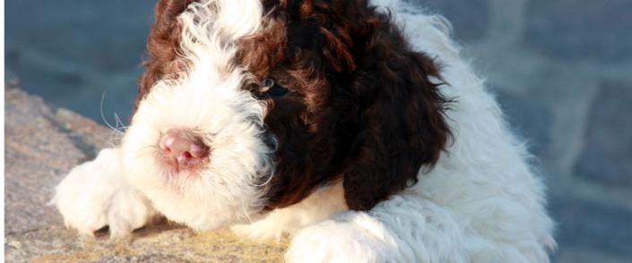 prezzi cucciolo lagotto