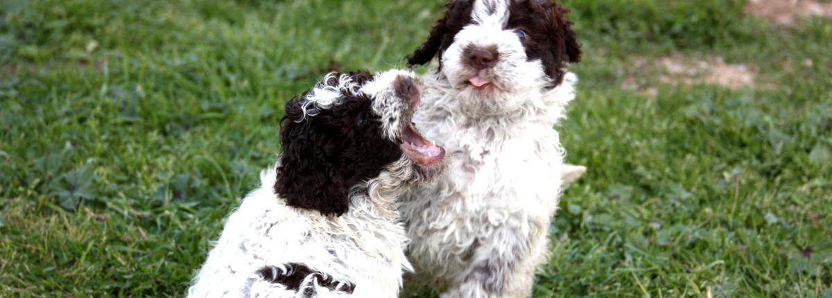 giochi cuccioli lagotto rispetto e ruoli