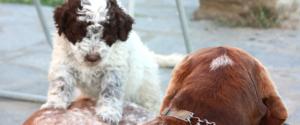 crescere cucciolo lagotto romagnolo