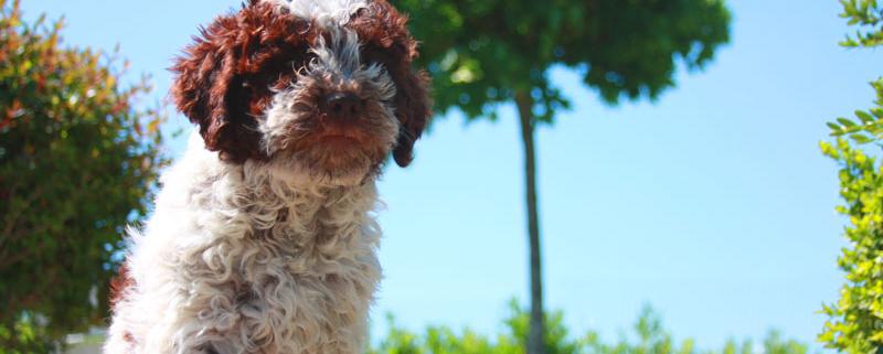 Scegliere il Lagotto Romagnolo cucciolo