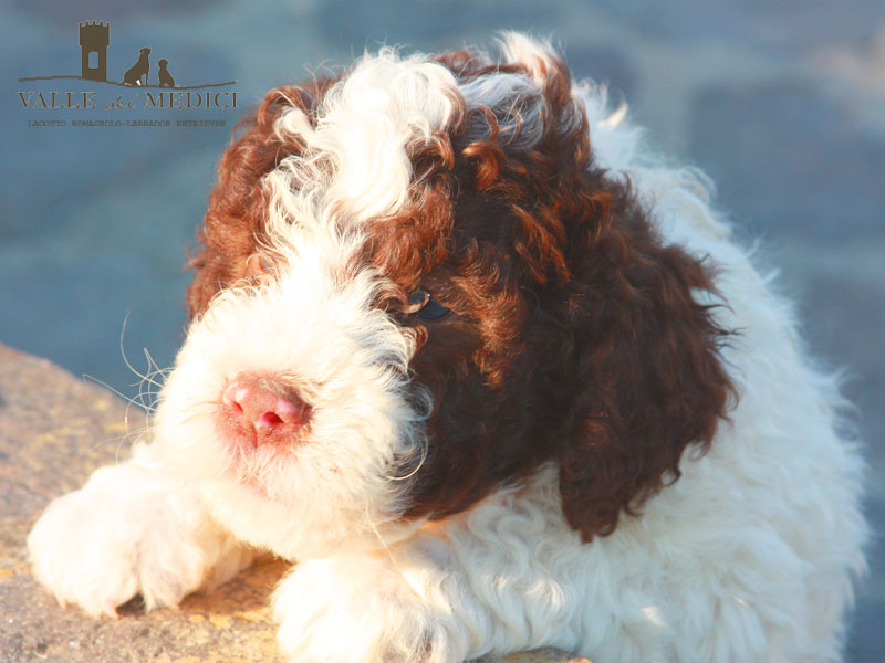 cuccioli di lagotto allevamento