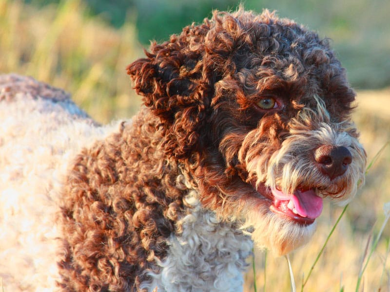 Lagotto Romagnolo cane per bambini testa bella
