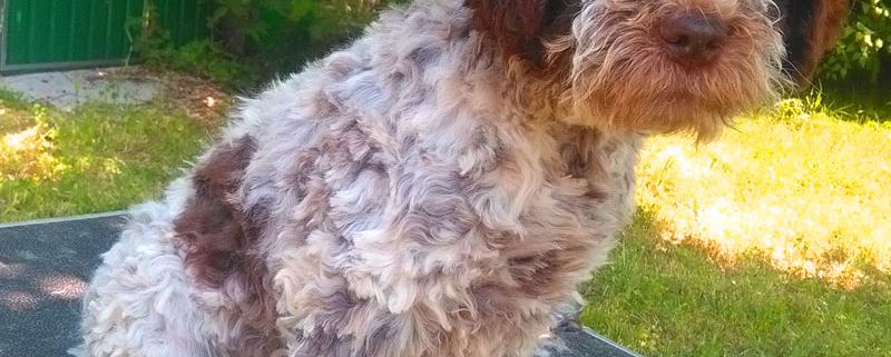 Cura del pelo del Lagotto Romagnolo: Toelettare e Tosare
