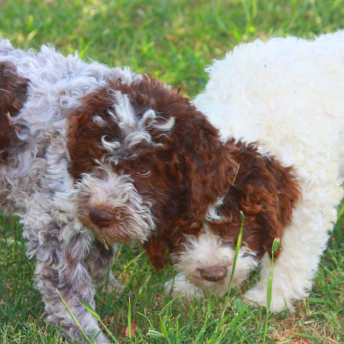 cucciolo lagotto romagnolo allevamenti