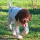 foto lagotto romagnolo cucciolona riccio senza capriccio