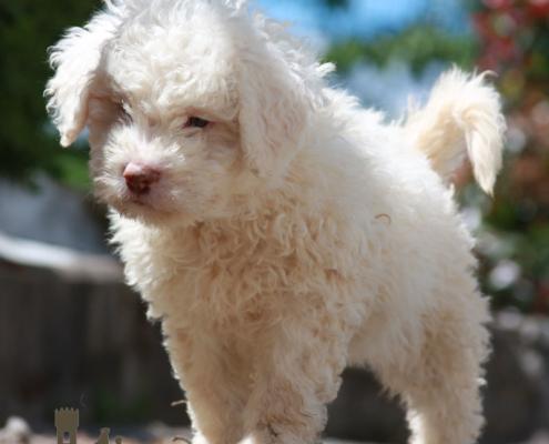 nome cucciolo cane lagotto romagnolo
