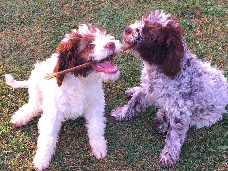 cani lagotto romagnolo cuccioli da tartufo