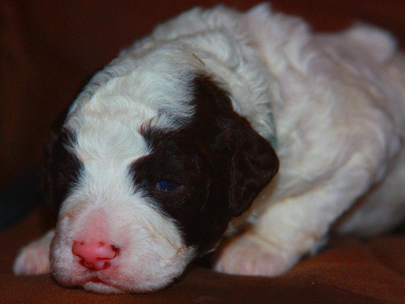 immagine cucciolo lagotto romagnolo maschio carattere allegro