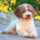 kennel lagotto romagnolo italy