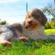 runa attesa gravidanza lagotto cane