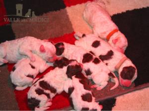 cucciole lagotto romagnolo femmine