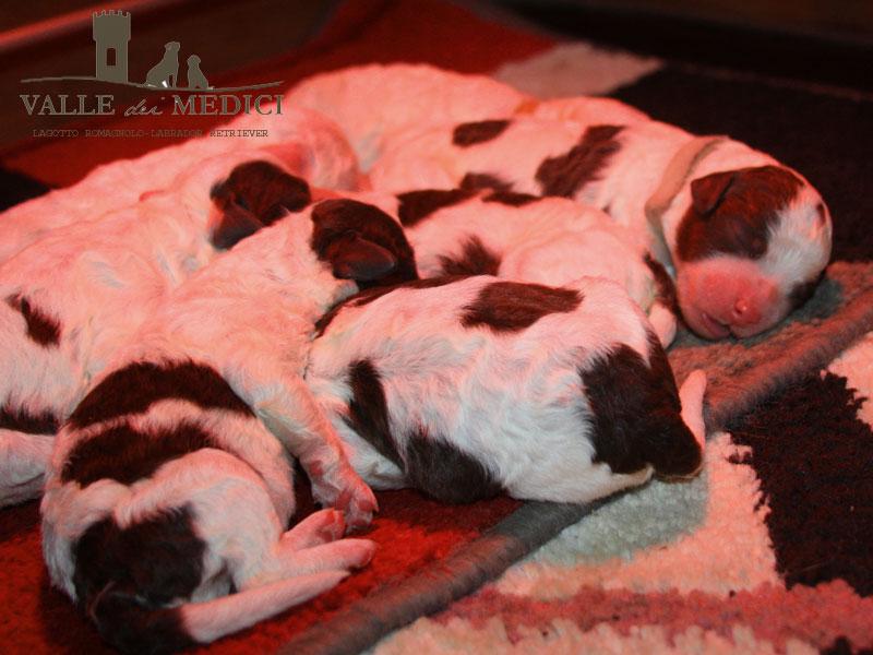 cuccioli lagotto bianco marrone