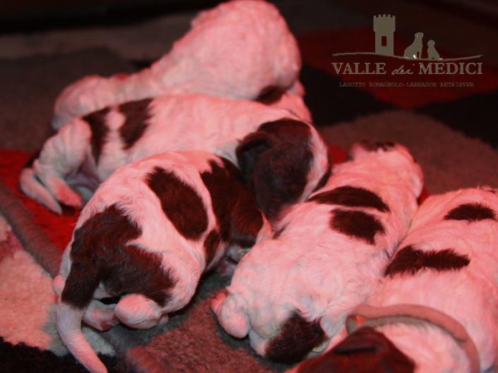 cucciolo marrone bianco lagotto 1
