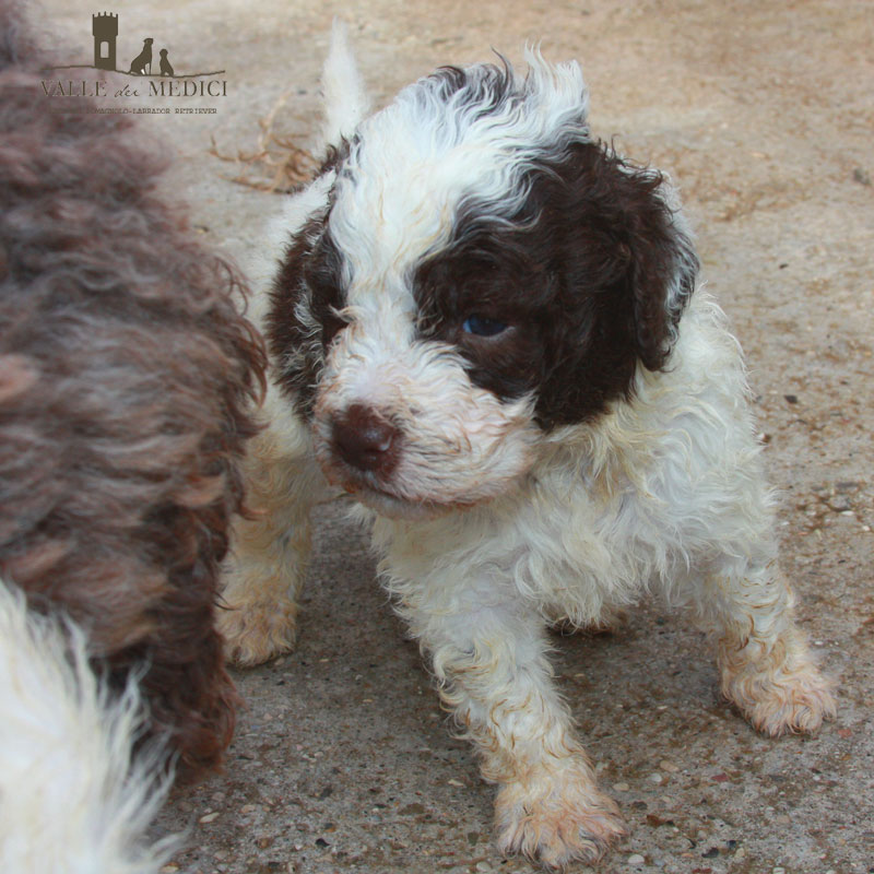 billy lagotto foto
