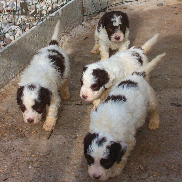cuccioli lagotto romagnolo bianco marrone