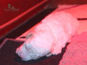 cucciolo bianco latte