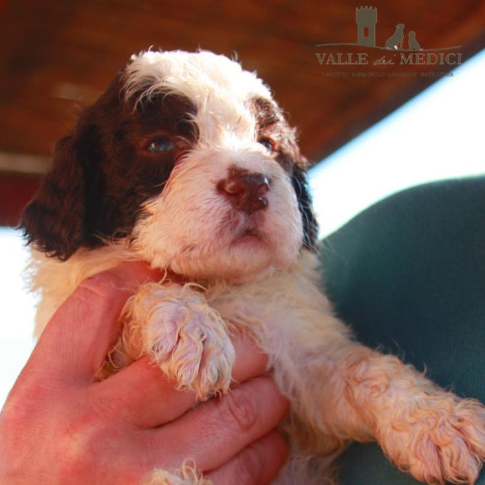 maschio o femmina lagotto romagnolo cucciolo
