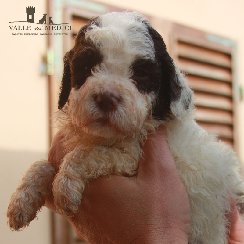 CUCCIOLI LAGOTTO DISPONIBILI