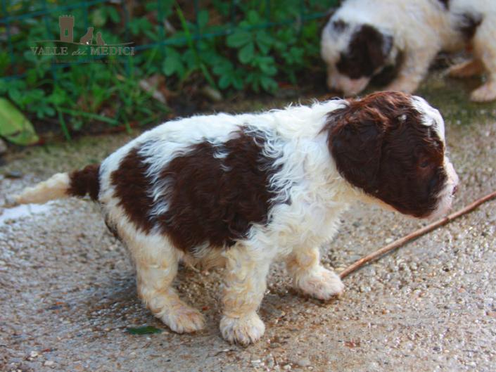 cuccioli lagotto allevamento