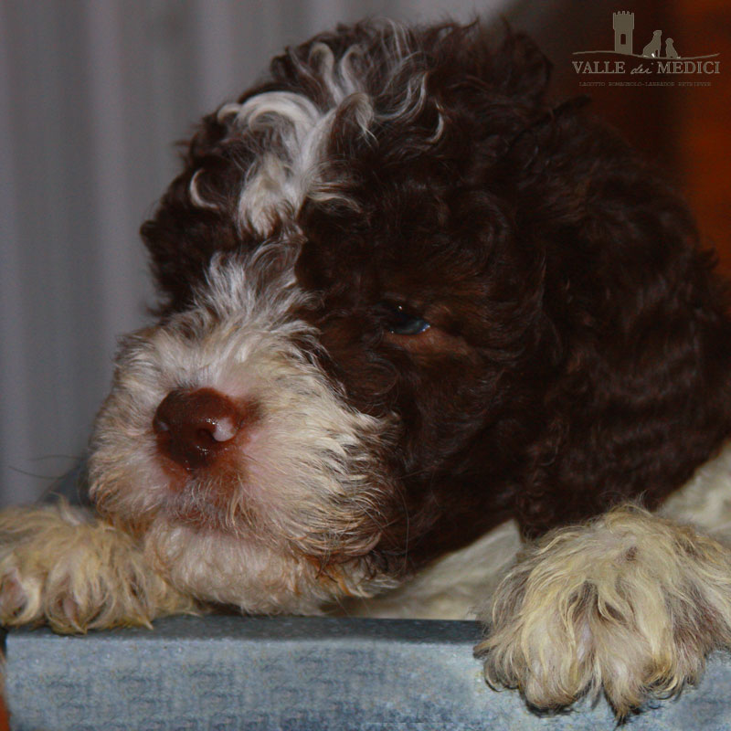 pedigree lagotto romagnolo
