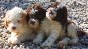 cuccioli lagotto romagnolo prezzo