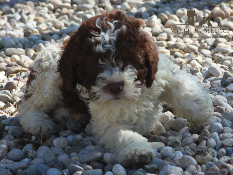genealogia pedigree lagotto