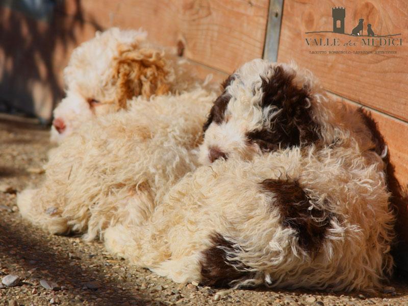 prezzo cucciolo lagotto romagnolo