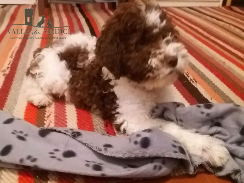 Baloo cucciolo lagotto romagnolo grosseto