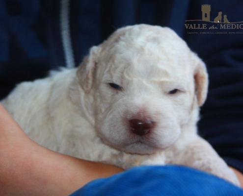 lagotto romagnolo bianco cucciolo