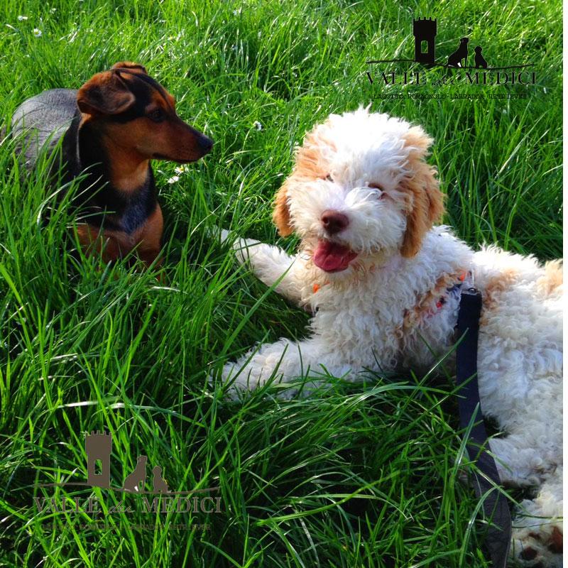 lagotto romagnolo cucciolo pettorina guinzaglio