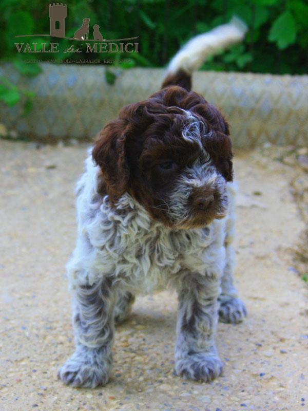 allevamento lagotto romagnolo cuccioli carattere