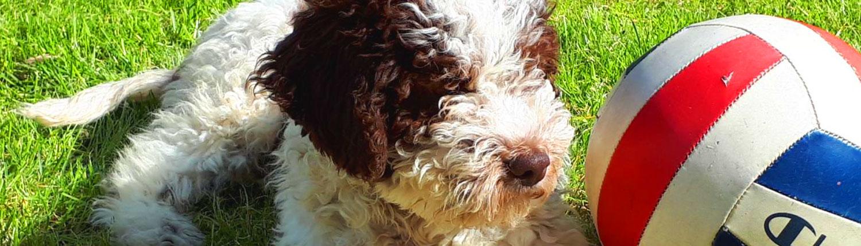 cane lagotto