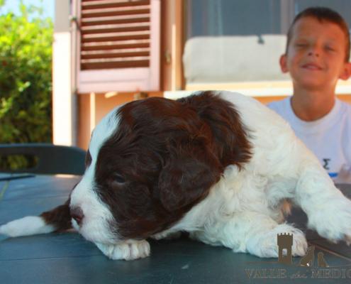 adottare cucciolo lagotto cimabue