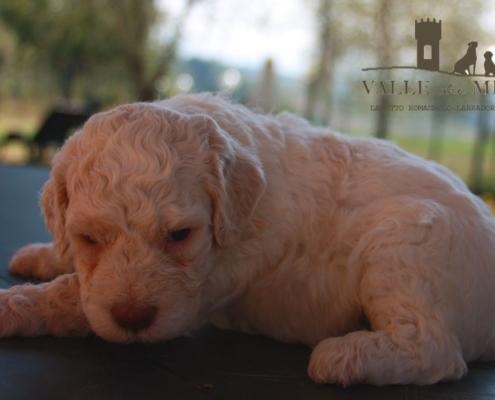 adozione cucciolo lagotto clasio