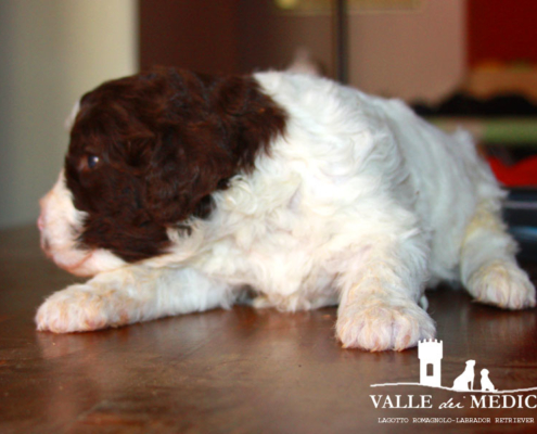 carattere lagotto romagnolo charly